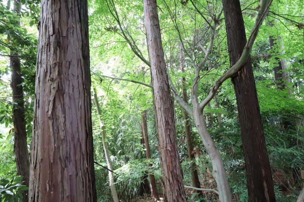 日吉の森庭園の檜
